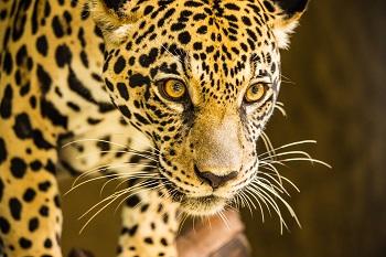 Jaguar Cruise